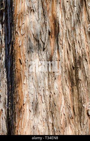Bald Cypress, Taxodium distichum, Tree bark texture, Tree trunk - Stock Photo