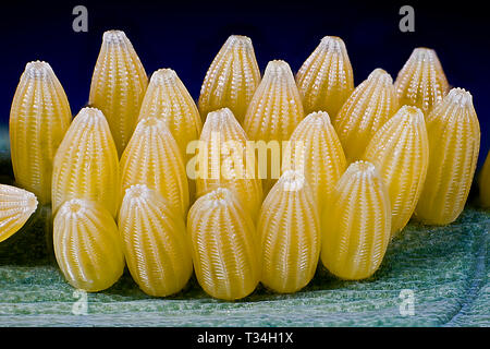 Cabbage White butterfly eggs on a cabbage leaf. - Stock Photo