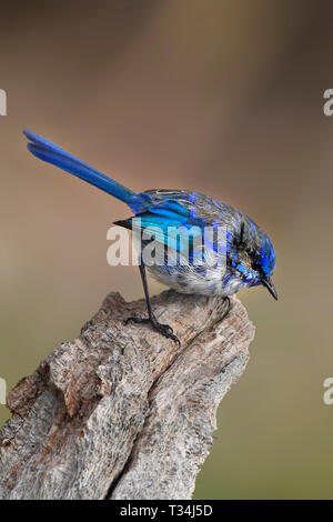 Splendid Fairy Wren (Malurus splendens), Western Australia, Australia - Stock Photo