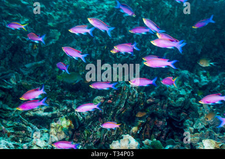 Purple Queen [Pseudanthias pascalus] swimming against the current.  North Sulawesi, Indonesia.  Indo-West Pacific. - Stock Photo