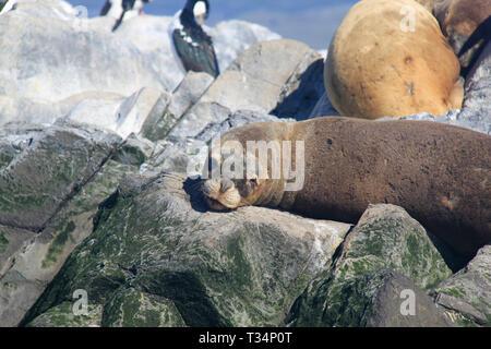 A southern sea lion (Otaria flavescens) lying on rocks, Tierra del Fuego, Argentina - Stock Photo