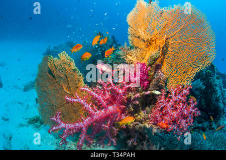 Coral reef with soft corals, gorgonians and Lyretail Anthias [Pseudanthias squamipinnis.  Andaman Sea, Thailand.  Indo-West Pacific. - Stock Photo