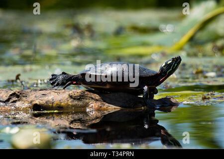 Painter turtle in New York - Stock Photo