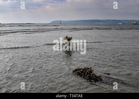 Pug dog running with tennis ball in mouth on the beach in Cornwall - Stock Photo