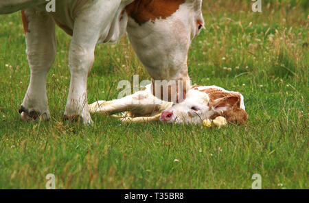 mother cow is licking her new born calf - Stock Photo