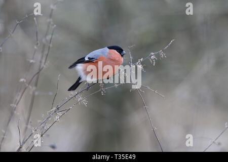 Eurasian Bullfinch, Pyrrhula pyrrhula, male feeding on nettle - Stock Photo