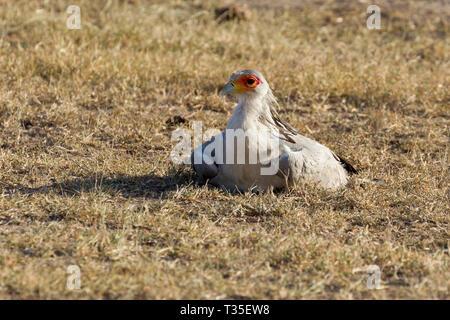 An adult Secretrary bird sitting on the ground in open grassland, landscape format, Ol Pejeta Conservancy, Laikipia, Kenya, Africa - Stock Photo