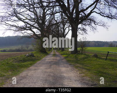 Alley trees in Mecklenburg-Western Pomerania. Horse chestnut tree [Aesculus hippocastanum] - Stock Photo