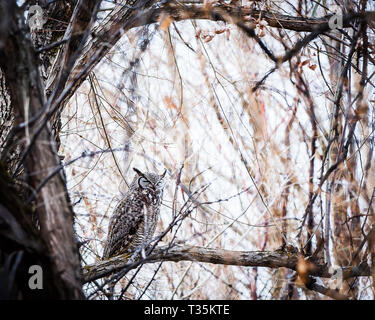 Great Horned Owl sleeping on a branch - Stock Photo