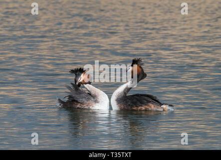 Great Crested Grebe courting, Rutland Water, Rutland - Stock Photo