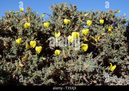 Yellow restharrow (Ononis hesperia / Onis natrix hesperia) flowering on a coastal headland, Lanzarote, Canary Islands, February. - Stock Photo