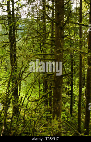 A mossy forest scene in Mission, British Columbia, Canada - Stock Photo