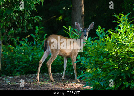 Deer in the back yard - Stock Photo