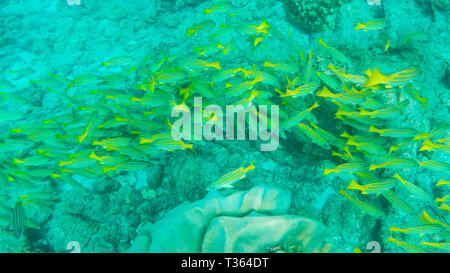 school of blue-striped snapper at isla floreana in the galapagos - Stock Photo