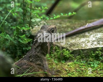 close up of a prehistoric looking tuatara lizard - Stock Photo