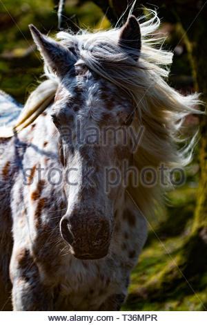 Dartmoor Pony - Stock Photo