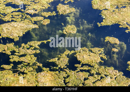 Stagnant water background with algae. Green algae on surface of the lake. Green algae cluster. - Stock Photo