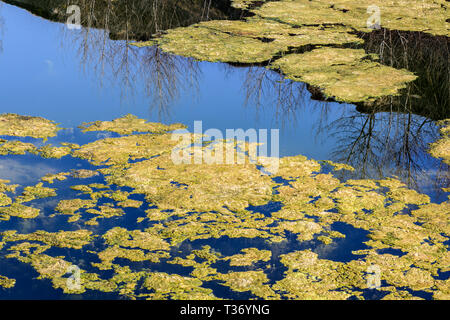 Stagnant water background with algae. Green algae cluster. - Stock Photo