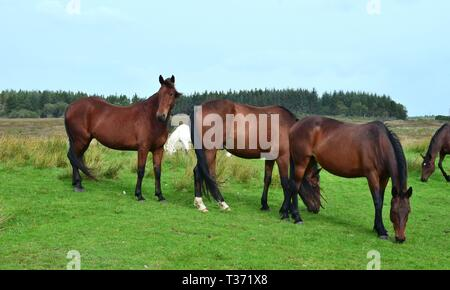 A group of bay horses on a meadow in Ireland. One is looking, two are grazing. Irish landscape in the background. - Stock Photo