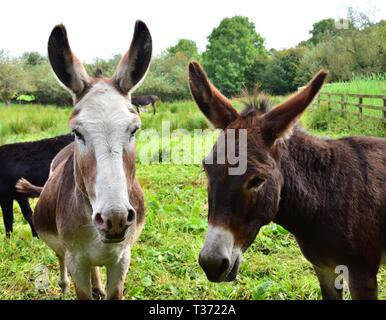 Portrait of two cute donkeys on a meadow in Ireland. - Stock Photo