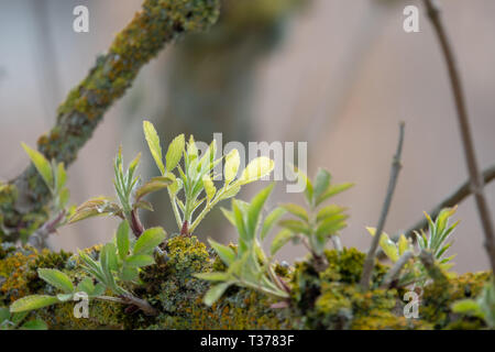 young shoots grow from an old branch - Stock Photo
