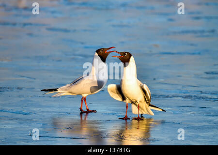 Spring is coming and Black-headed Gull couple are strengthening the relationship on the frozen pond. - Stock Photo