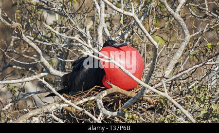 male frigatebird on isla genovesa in the galalagos islands, ecuador - Stock Photo
