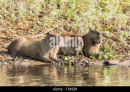 Capybara Family, Hydrochoerus hydrochaeris, Pantanal, Mato Grosso do Sul, Brazil - Stock Photo