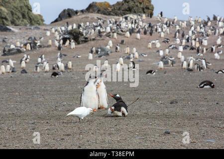 Gentoo Penguin, Pygoscelis papua and Snowy Sheathbill, Chionis albus at Elephant Point; Livingston Island; Bransfield Strait; South Shetland Islands;  - Stock Photo