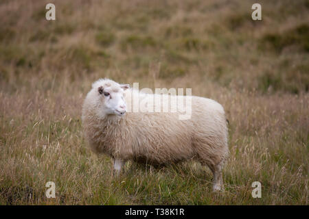 A big white ram sheep with long horns looking at you close up - Stock Photo