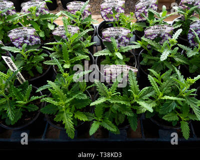 Plant nursery display of young flower plants in a greenhouse in early spring Verbena Obsession twister purple for later sale as bedding plants - Stock Photo