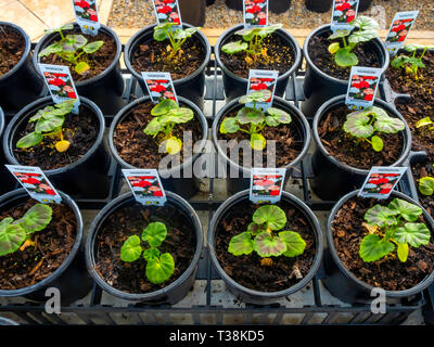 Plant nursery display of young flower plants in a greenhouse in early spring Geraniums for later sale as bedding plants for planting. - Stock Photo