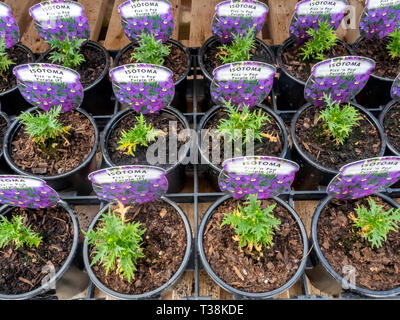 Plant nursery display of young flower plants in a greenhouse in early spring,   Isotoma Fizz n pop Purple  for later sale as bedding plants - Stock Photo