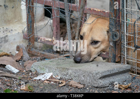 sad brown Thai dog, showing the unhappy from its eye. It's in the old cage. - Stock Photo