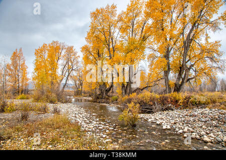 Cottonwood trees beside a small river in full fall colours - Stock Photo