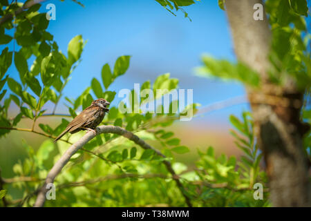 wet lonely sparrow in the summer and warm weather hang on to tree branch with blur orange sky background. - Stock Photo