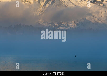 A bald eagle flying low over the surface of Jackson Lake in a lifting fog below the Teton Mountains. Grand Teton National Park, Wyoming - Stock Photo