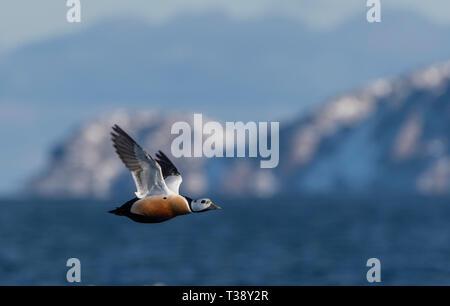 Stellers Eider in flight - Stock Photo