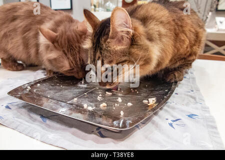 Two Munchkin cats lick a carving plate clean after dinner - Stock Photo