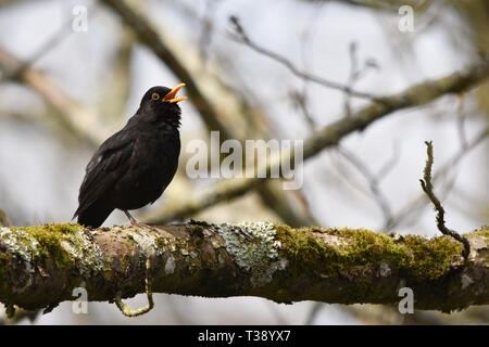 Singing Male Blackbird in a Tree - Stock Photo