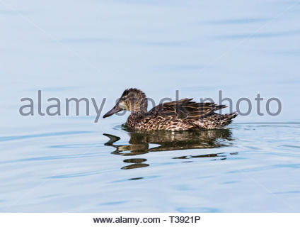 Blue-winged Teal, Anas discors, female swimming on pond in Arizona USA - Stock Photo