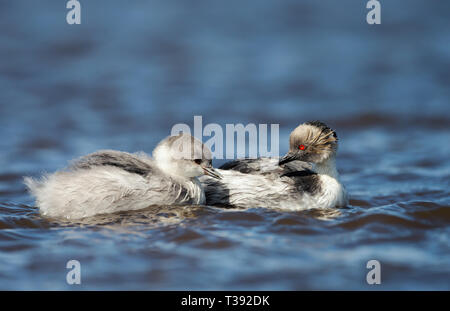 Close up of a Silvery Grebe (Podiceps occipitalis) with a chick swimming in a freshwater lake, Falkland islands. - Stock Photo