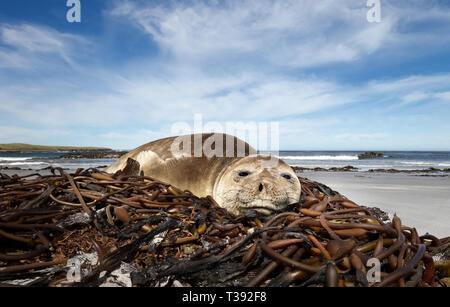 Close up of a young Southern Elephant seal lying on seaweeds, Falklands Islands. - Stock Photo