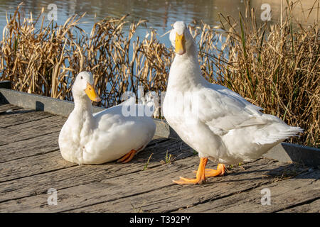 male and female white heavy ducks - American Pekin also known as the Aylesbury or Long Island duck - Stock Photo