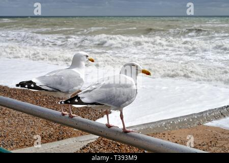 Close up of two herring gulls,Larus argentatus, perched on a seafront railing looking out at a rough stormy sea in Hove East Sussex England UK - Stock Photo