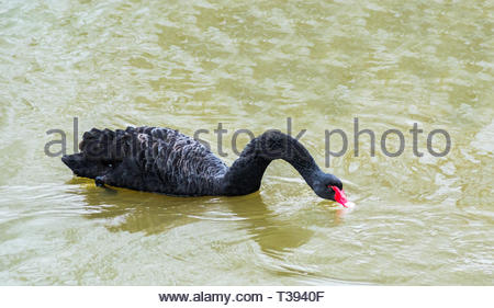 Black swan with a long and stretch neck swimming in a pond. Beautiful large waterbird. - Stock Photo