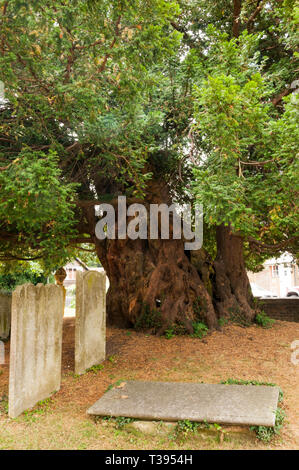 The Yew tree in the churchyard of St Mary's church in Downe is believed to be over 1700 years old. - Stock Photo
