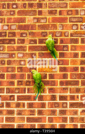 Ring-necked parakeets, Psittacula krameri, in Kent clinging to a wall to scrape at the brickwork with their beaks. - Stock Photo