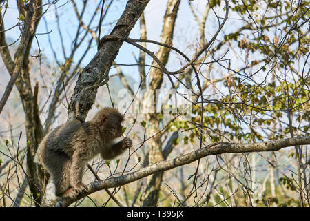 A juvenile Japanese macaque (Macaca fuscata) eats buds in a tree on a sunny day in the forest of Yuzawa, Niigata, Japan. - Stock Photo