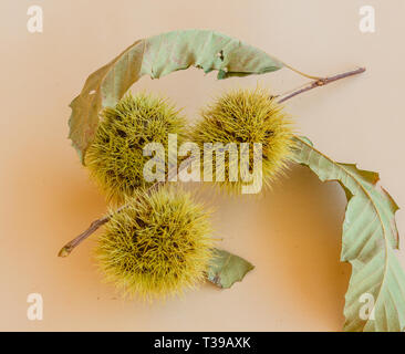 set of branches with the curls of a chestnut tree - Stock Photo